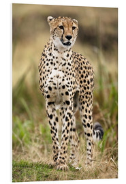 Foam board print  Cheetah on the prowl - Joe & Mary Ann McDonald