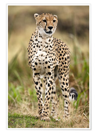 Premium poster  Cheetah on the prowl - Joe & Mary Ann McDonald