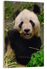 Wood print  Panda is chewing on bamboo - Pete Oxford