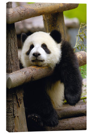 Canvas print  Panda relaxes on a fence - Pete Oxford