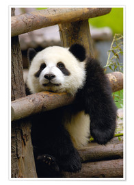 Premium poster  Panda relaxes on a fence - Pete Oxford