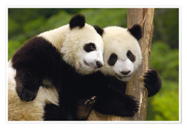 Premium poster  Young pandas at tree trunk - Pete Oxford