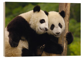 Wood print  Young pandas at tree trunk - Pete Oxford