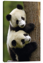 Canvas print  Giant Panda babies clinging to a tree trunk - Pete Oxford
