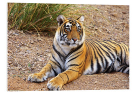 Foam board print  Lying King Tiger - Jagdeep Rajput