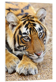 Foam board print  Resting King Tiger - Jagdeep Rajput