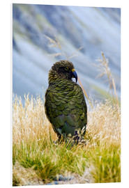 Foam board print  Kea is sitting in the grass - Fredrik Norrsell