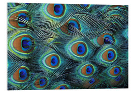 Foam board print  Iridescent feathers of a peacock - Adam Jones