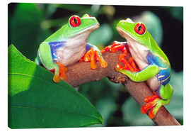 Canvas print  Two red-eyed tree frogs - David Northcott