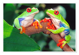 Premium poster  Two red-eyed tree frogs - David Northcott