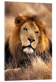 Acrylic print  Male lion in the grass - Stuart Westmorland