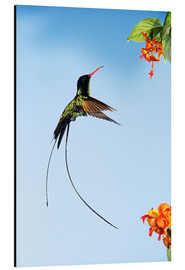 Aluminium print  Hummingbird flies to bloom - Rolf Nussbaumer