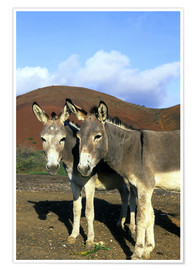 Premium poster  Two friendly donkeys - Kevin Schafer