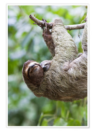Premium poster  Sloth with baby on the branch - Jim Goldstein