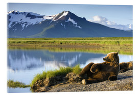 Acrylic print  Brown bear relaxes at the lake - Paul Souders