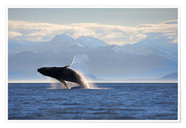 Premium poster  Humpback whale jumps out of water - Paul Souders