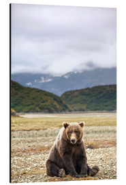 Aluminium print  Grizzly Bear is resting in front of Kinak Bay - Paul Souders