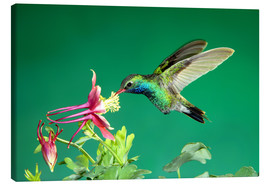 Canvas print  Broad-billed hummingbird on columbine - Rolf Nussbaumer