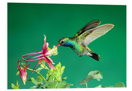 Foam board print  Broad-billed hummingbird on columbine - Rolf Nussbaumer
