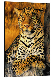 Aluminium print  Enthroned Leopard - Dave Welling