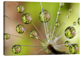 Canvas print  Drops of water on dandelion - Christopher Talbot Frank