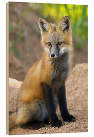 Wood print  Portrait of a young fox - Don Grall