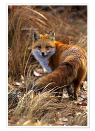 Premium poster  Red Fox looks back - Cathy & Gordon Illg