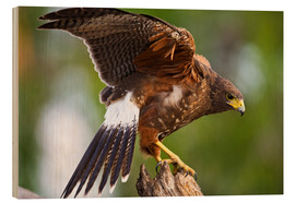 Wood print  Desert buzzard with wide wings - Larry Ditto