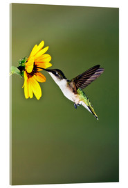 Acrylic print  Ruby-throated Hummingbird at sunflower - Larry Ditto