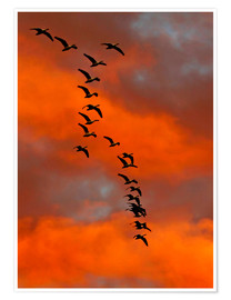 Premium poster  Snow geese in the sunset - Cathy & Gordon Illg