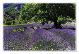 Premium poster Lavender field with tree