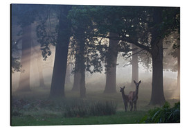 Aluminium print  Two red deer in a clearing - Alex Saberi