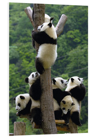 Foam board print  Panda babies on the climbing tree - Pete Oxford