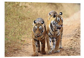 Foam board print  Bengal Tiger in wait - Jagdeep Rajput
