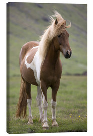 Canvas print  Iceland horse - Don Grall