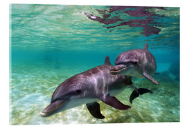 Acrylic print  Two bottlenose dolphins from the beaches of the Caribbean - Stuart Westmorland