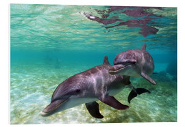 Foam board print  Two bottlenose dolphins from the beaches of the Caribbean - Stuart Westmorland