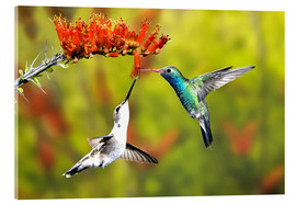 Acrylic print  Broad-billed hummingbirds on flower - Don Grall