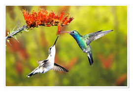 Premium poster  Broad-billed hummingbirds on flower - Don Grall