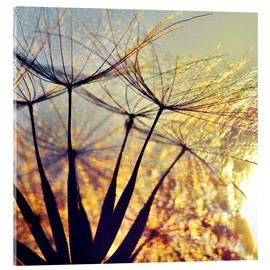 Acrylic print  Dandelion in the sunset III - Julia Delgado