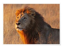 Premium poster  Lion in the evening light - Africa wildlife - wiw