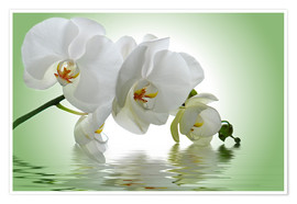 Premium poster  Orchid with Reflection - Atteloi