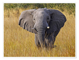 Premium poster Elephant in the gras - Africa wildlife