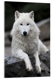 Acrylic print  the wolf - WildlifePhotography