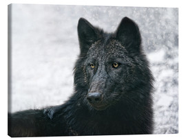 Canvas print  the black wolf - Joachim G. Pinkawa