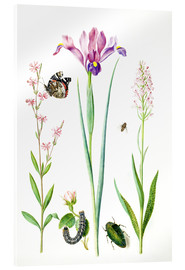 Acrylic print  Red catchfly, rose, iris & orchis - Maria Sibylla Merian
