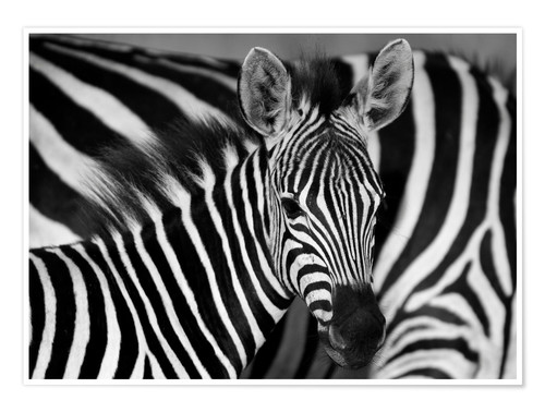 Premium poster Zebra black and white