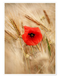 Premium poster Red poppy in wheat field 2