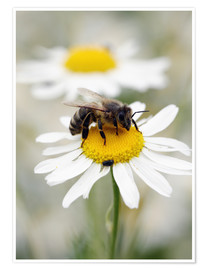 Premium poster  Bee on the camomile lawn - Falko Follert
