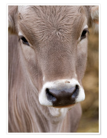 Premium poster A Cow